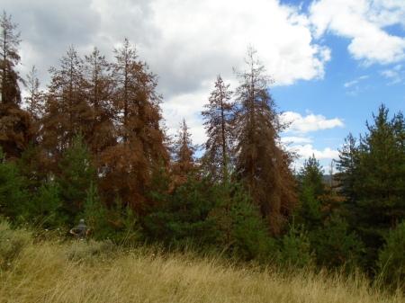 dead-pines